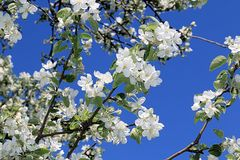 Pattern of a blooming apple tree against a blue sky royalty free stock images