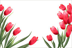 Pattern with blooming red tulips on a white background. Stock Image