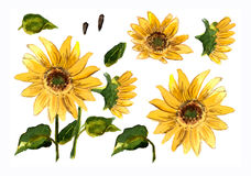 The pattern of blooming yellow flowers sunflower painted in watercolor Stock Image