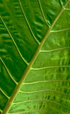 Pattern of branch in green leaf Royalty Free Stock Photo