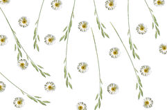 Pattern with chamomile and green grass spica on white background Stock Image