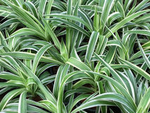 Pattern of Cholorophytum comosum for background Royalty Free Stock Photo