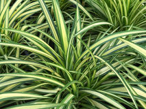 Pattern of Cholorophytum comosum for background Royalty Free Stock Images