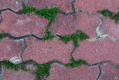 Pattern of Cobblestone Pavement with Fresh Green Grass Stock Photography