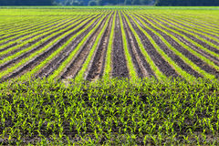 Pattern of cultivated field. Pattern of cultivated corn field stock photos