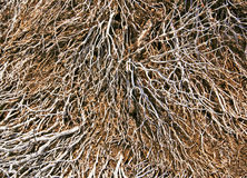 Pattern of dead dried plant branches in vocalic ground. Patterned Background of dead dried plant branches in vocalic ground seen in slopes of Teide volcano in Royalty Free Stock Image