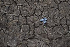 Pattern of a dry ground. blue flower on dry land. Pattern of a dry ground. Texture. blue flower on dry land royalty free stock photography