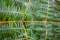 Pattern of the eagle fern leaves stock images
