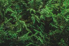 Pattern of an evergreen plant`s foliage. Pattern of a cypress plant`s greenery. Evergreen foliage. Green pattern stock image