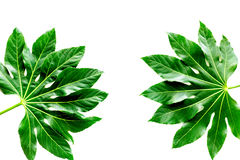 Pattern of exotic plant`s leafs on white background top view Royalty Free Stock Photography