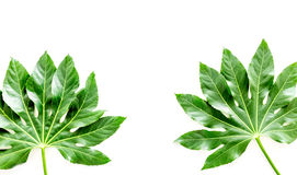 Pattern of exotic plant`s leafs on white background top view copyspace Royalty Free Stock Photography