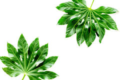 Pattern of exotic plant`s leafs on white background top view copyspace Stock Photo