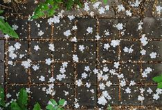 Pattern of falling white flowers petals of viburnum tree. White flowers petals of viburnum tree falling on paving slabs, outdoor natural pattern, stock photo stock images