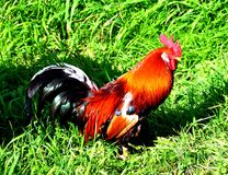 Pattern with farm rooster silhouette. The cock of beautiful coloring walks along the grass Stock Photo