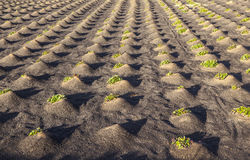 Pattern of field with vegetables Stock Photo