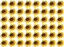 Pattern flower sunflower sunny vivid white Royalty Free Stock Images