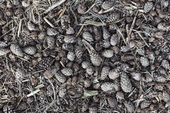 Pattern formed by pine nuts on forest floor Stock Images