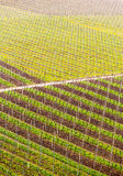 Pattern formed by rows of grape vines in vineyard Castell Stock Images