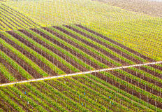 Pattern formed by rows of grape vines in vineyard Castell Stock Photo