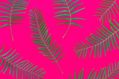 Pattern from fresh green palm fern leaves on solid fuchsia pink background. Tropical botanical floral backdrop. Trendy neon colors. Wallpaper template. Natural stock image