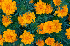 Pattern of gold flowers marigold tagetes between green leaves Royalty Free Stock Image