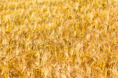 Pattern of golden field Royalty Free Stock Photography