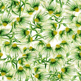 Pattern with green camomiles painted in watercolor on a white background Stock Photography