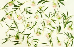 Pattern of green eucalyptus branches and leaves and pale pink roses flowers on white background. Top view Stock Images