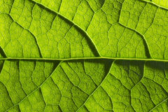 Pattern of green growing leaf surface - Stock Image Stock Photos