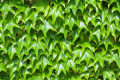 Pattern of green ivy leaves close-up Royalty Free Stock Photos