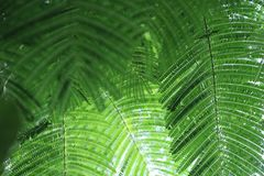 Pattern green leave of mimosa tree. It that have tiny leaves, Assembly is a single leaf royalty free stock photos