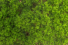 Pattern of green leaves. Royalty Free Stock Photography