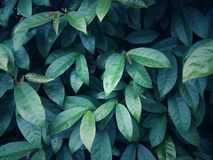 Pattern of green leaves or plants. With close-up for natural background and wallpaper Stock Images