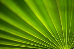 Pattern of the sugar palm leaf stock image