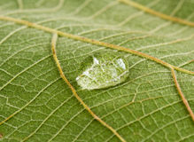 Pattern of green teak leaf and drops water Stock Photo