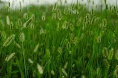 Pattern of horsetail flower background. stock image