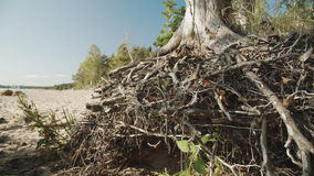Pattern of intertwined tree roots. The pattern of intertwined tree roots stock video footage