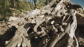 Pattern of intertwined tree roots. The pattern of intertwined tree roots stock footage