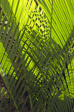 Pattern of interwoven palm leaves. Illuminated from the back create a natural background Royalty Free Stock Photography