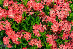 Pattern of Ixora chinensis Lamk flower Royalty Free Stock Photo