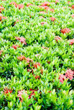 Pattern of Ixora coccinea flower Royalty Free Stock Image