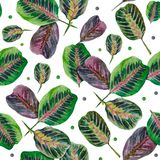 Pattern of leaves of the arrowroot Maranta vector illustration