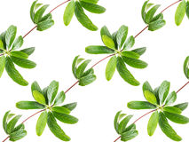 Pattern of leaves creeper plant isolated Stock Photography