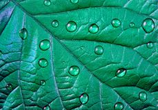 Pattern of leaves of mint color. natural ornament of leaves in water droplets. water droplets on the leaf. Green mint color. pattern of leaves of mint color royalty free stock image