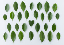 Pattern of lemon leaves with heart shape on white background Royalty Free Stock Photo