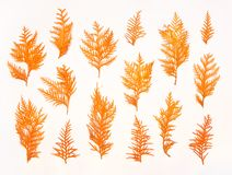Pattern made of autumn twigs of thuja on a white background. Flat lay, top view. Autumn composition. Pattern made of autumn twigs of thuja on a white background Royalty Free Stock Image