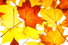 Pattern of  maple foliage Royalty Free Stock Photography