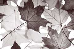 Pattern of  maple foliage Royalty Free Stock Photo