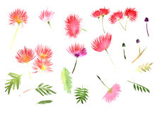 Pattern Mimosa Albizia julibrissin foliage and flowers Stock Image