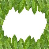 Pattern of mint leaves. Fresh mint with drops of water royalty free stock images